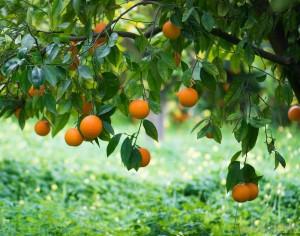 портокалова страна